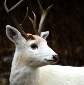 white-deer